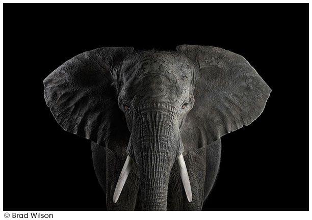 201604_wilson_africanelephant1.jpg