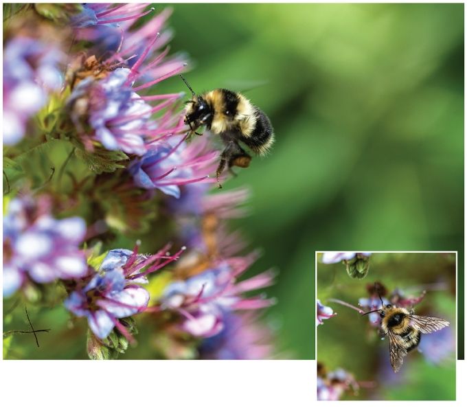 Dynamic area autofocus in live view made it possible to capture a high percentage of in-focus images as bees moved erratically over flowers.